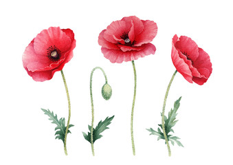 Fototapeta Botaniczne Watercolor illustration of poppy flowers. Perfect for greeting cards or invitations