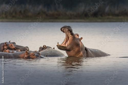 Canvas-taulu Hippopotamus (Hippos) in Liwonde N.P. - Malawi