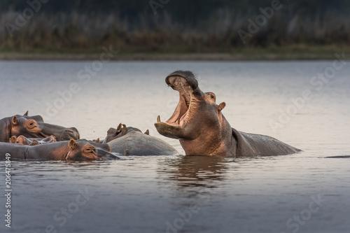 Hippopotamus (Hippos) in Liwonde N.P. - Malawi Tableau sur Toile