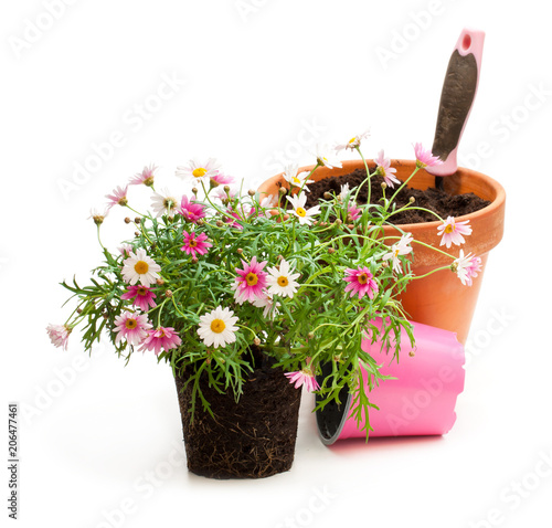 Foto op Canvas Madeliefjes Pink daisies marguerite plant in flower pot isolated on white background. Ready for planting.