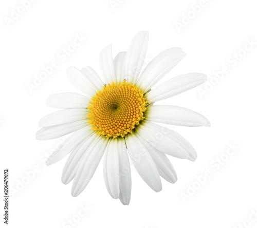 One daisy flower isolated on white background