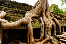 The Famous Imposing Tetrameles Nudiflora Tree With Its Huge Roots Running Along The Gallery Of The Second Enclosure In The Ta Prohm Temple Ruins In Angkor, Siem Reap, Cambodia.