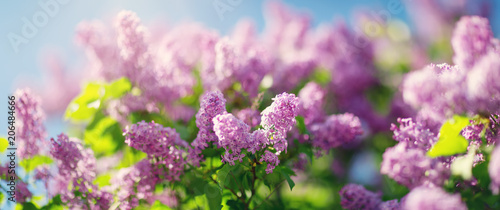 Papiers peints Lilac Lilac flowers blooming outdoors. Spring blossom background on sunny day