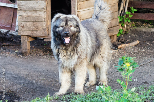 Fototapeta Caucasian shepherd dog near the kennel in the courtyard of the village house / Photo taken in Russia, in the countryside obraz