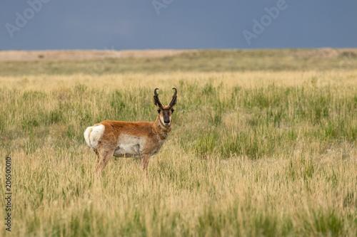 Spoed Foto op Canvas Antilope Pronghorn Antelope Buck
