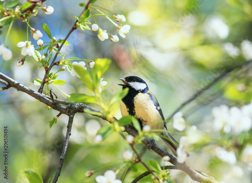 Poster Lente cute bird tit sings a beautiful song in spring garden on branch in may flowers