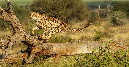 cheetah leaping Fototapete