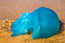 Closeup Of A Blue Jellyfish Sp...