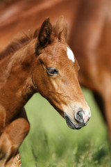 Head of the few weeks old newborn baby horse