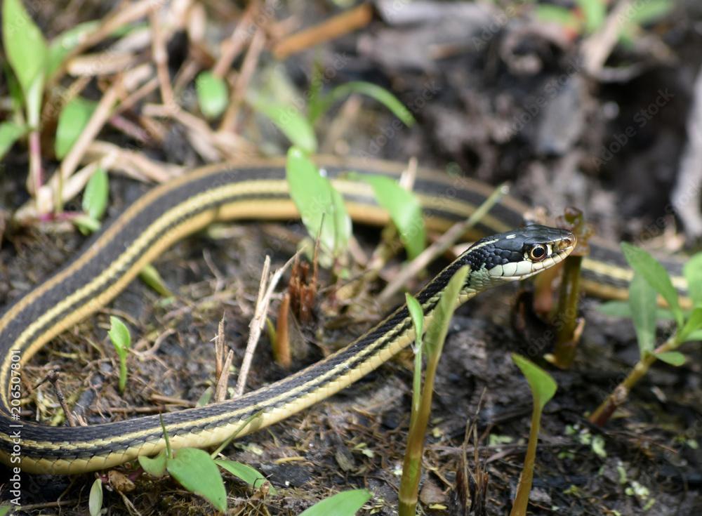 Striking Garter Snake Known as a Ribbon Snake