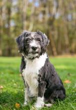 A Scruffy Black And White Terr...