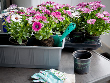Gardening. Pots With Flowers T...