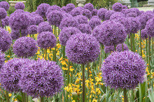 Beautiful Allium Flowers In Fu...