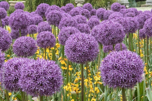 Beautiful allium flowers in full bloom Wallpaper Mural