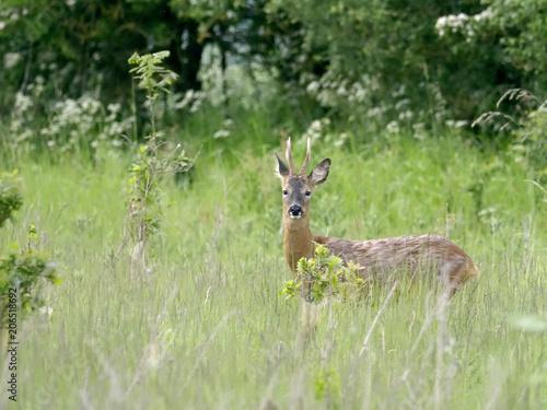 Fotobehang Ree Roe deer, Capreolus capreolus