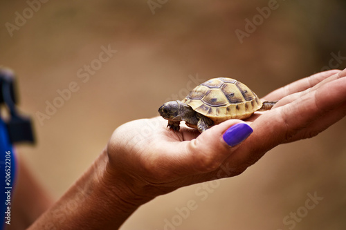 A young turtle cub in the palm of a girl is safe. Canvas Print
