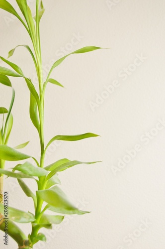 Lucky Bamboo Plant on Left Side Background Vertical Text Ready Poster