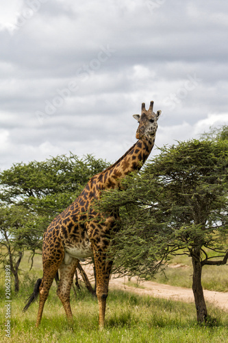 Foto op Canvas Giraffe Giraffe eating from a acacia in the Serengeti National Park in Tanzania