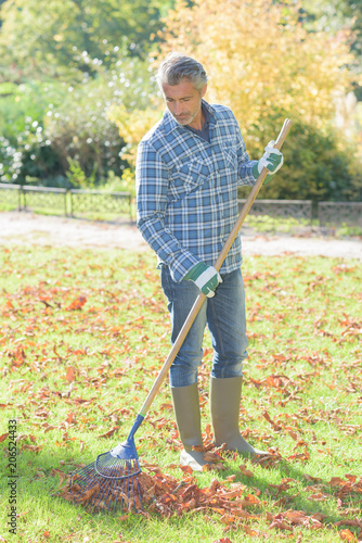 Fototapeta Middle aged man raking leaves