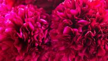 Red Fresh Peonies Close Up, Macro Background