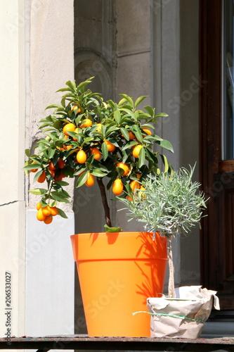 Topfpflanzen Kumquat Und Lavendel In Topfen Anpflanzen Ovale