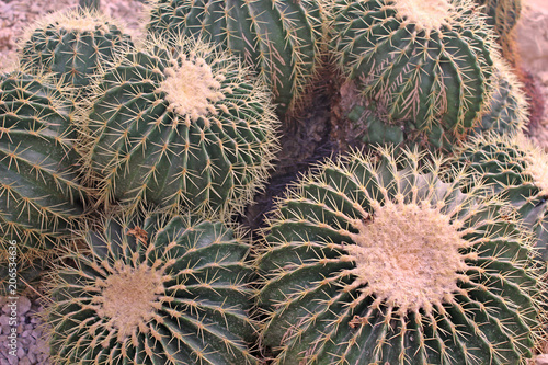 Fotografia  cactus photo detail
