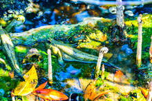 Mudskipper Fish With Mangrove ...