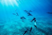 ハワイのイルカの群れ
