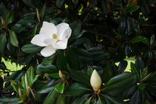Flower Of The Magnolia Grandiflora, The Southern Magnolia Or Bull Bay, Tree Of The Family Magnoliaceae