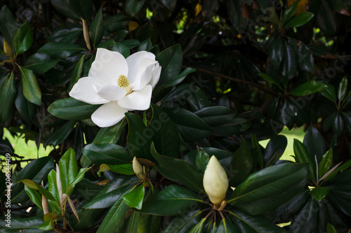 Fototapeta Flower of the Magnolia grandiflora, the Southern magnolia or bull bay, tree of t
