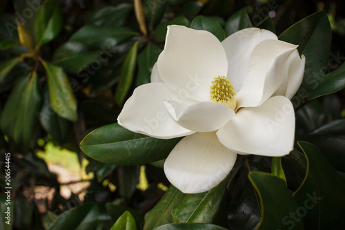 Photo Stands Magnolia Flower of the Magnolia grandiflora, the Southern magnolia or bull bay, tree of the family Magnoliaceae