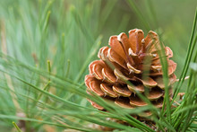 PINE CONE FROM PITCH PINE TREE - PINUS RIGIDA