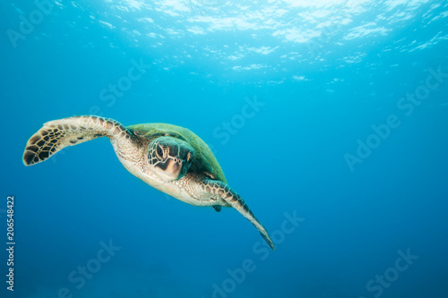Foto op Aluminium Schildpad Sea Turtle Underwater in Tropical Clear Blue Ocean from Below