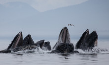 Humpback Whales Bubble Net Feeding At Surface