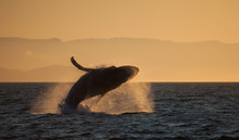 Humpback Whale Breaching In Golden Hour Sunset