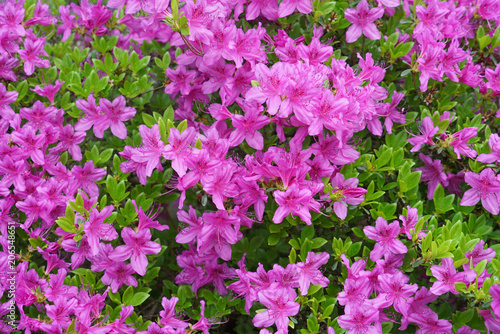 Foto op Canvas Azalea close up on blooming purple rhododendron in spring