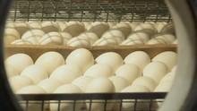 Looking At Incubator Eggs Thro...