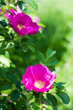 Flowers Of Briar Bush Close-up...