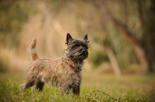 Cairn Terrier Dog Outdoor Port...