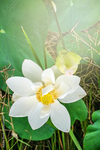 Papiers peints Narcisse Beautiful white lotus blossom in a natural garden pond.
