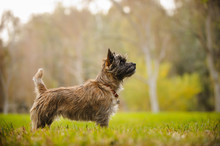 Cairn Terrier Dog Outdoor Portrait Standing In Field