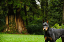 Black And Tan Doberman Pinscher Dog Outdoor Portrait With Cropped Ears In Park With Large Trees