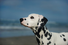 Dalmatian Dog Outdoor Portrait At Beach With Blue Sky And Water