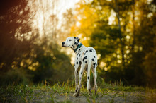 Dalmatian Dog Outdoor Portrait...