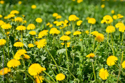 Deurstickers Narcis yellow flowers on green grass background