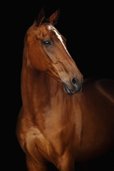 Portrait of Budyonny horse on a black background