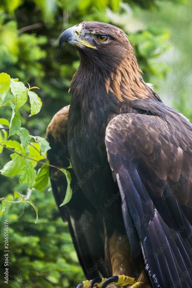 Golden eagle - closeup in the detail - Aquila chrysaetos