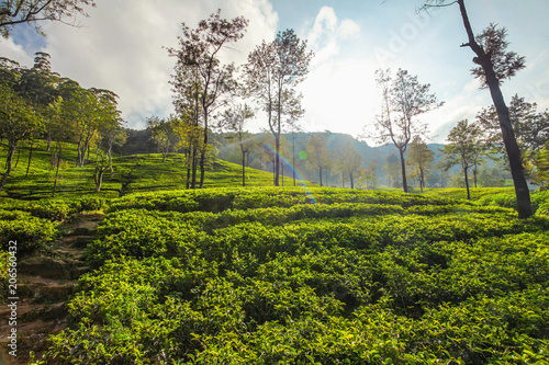Deurstickers Asia land Tea gardens with some trees, lit in morning backlight sun. Kandy, Sri Lanka