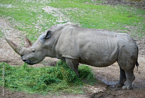 Fotobehang Neushoorn rinoceronte bianco