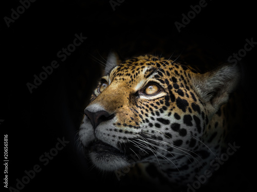 In de dag Luipaard The face of a leopard is staring at the victim.